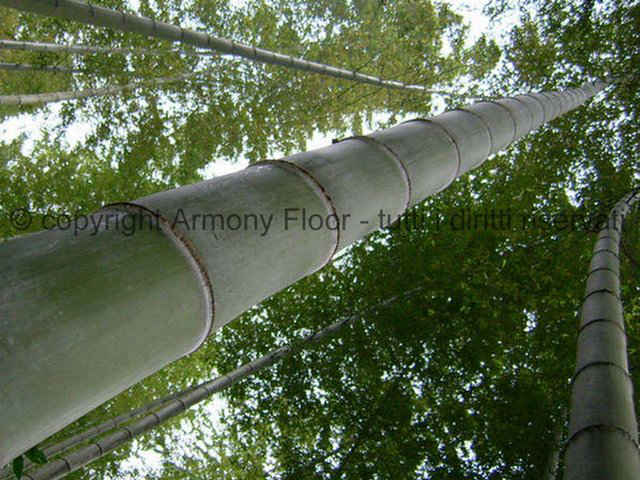 Canna-di-bamboo